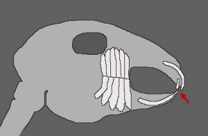 schéma dentaire occlusion normale